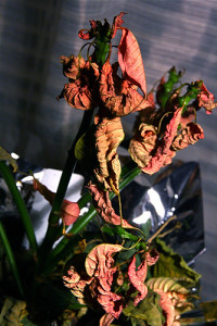 Dead poinsettia at Happy Simple Living blog