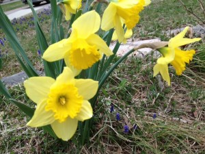 Daffodils at Happy Simple Living blog