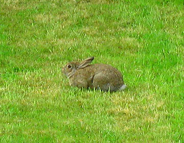 Rabbit on Happy Simple Living blog