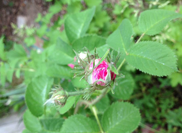 rose bud at happy simple living blog