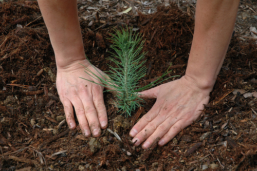 pine tree seedling