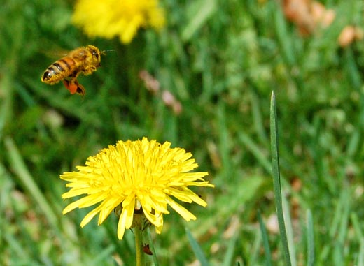 A bee pauses above a dandelion
