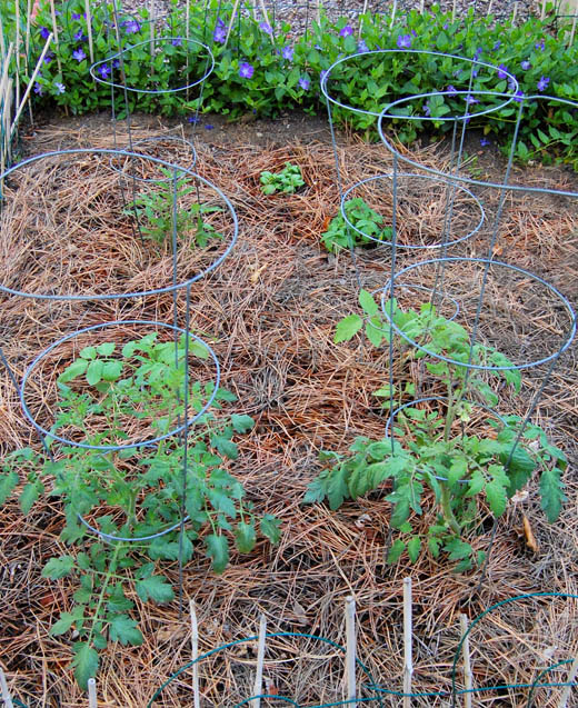 Garden with tomatoes