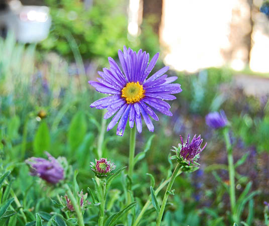 Aster | Happy Simple Living blog