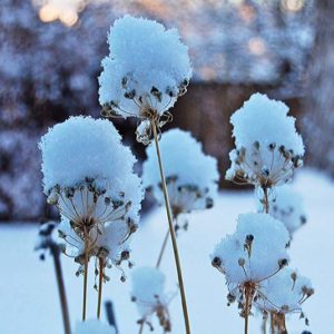 Snow puffs on chive plants   Happy Simple Living blog
