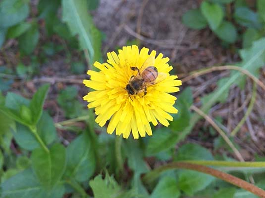 honey bee and dandelion