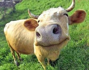 content cow