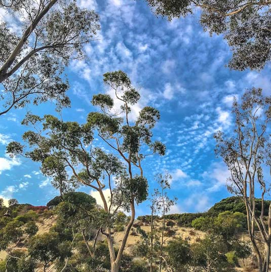 Eucalyptus trees in Dana Point