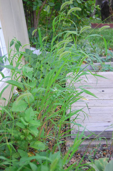 Weedy gardens at Happy Simple Living