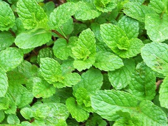 Fresh mint plants