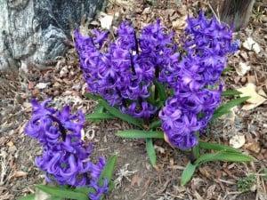 Hyacinth at Happy Simple Living blog