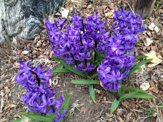 Hyacinth at Happy Simple Living blog