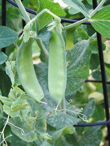 Pea plants at Happy Simple Living blog