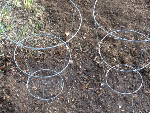 Peas planted at Happy Simple Living blog