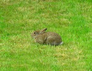 Rabbit on Happy Simple Living blog