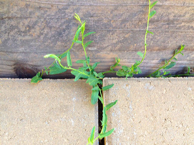 Bindweed grows at the Happy simple Living blog