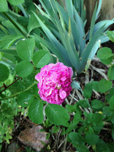 fading rose at Happy Simple Living blog