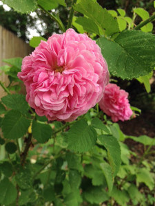 old fashioned rose at Happy Simple Living blog