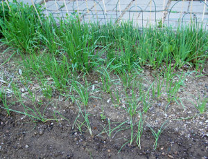 Onions, garlic, chives and leeks
