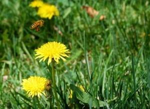 Dandelions attract bumblebees