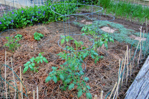 Mulch tomato plants with pine needles