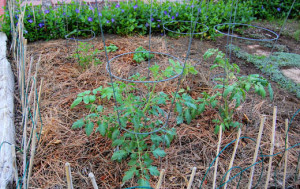 Tomatoes mulched with pine needles