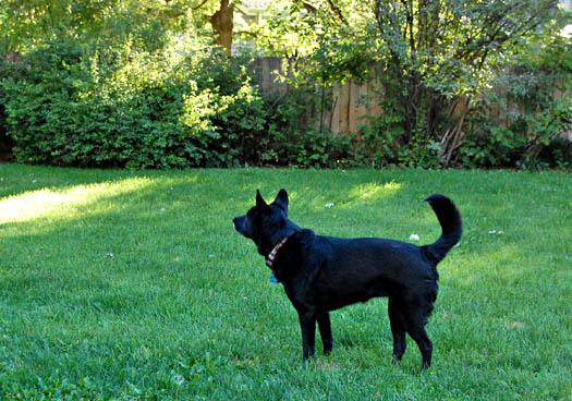 Black dog on green grass