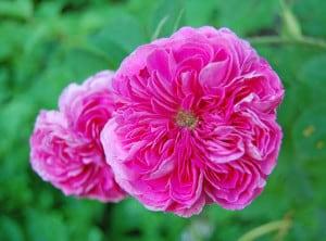 Old fashioned rose bush