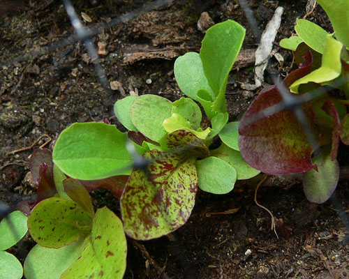 Lettuce coming up in the garden