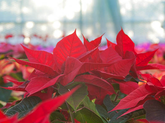 Poinsettias | Happy Simple Living blog