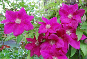 Clematis   Happy Simple Living blog