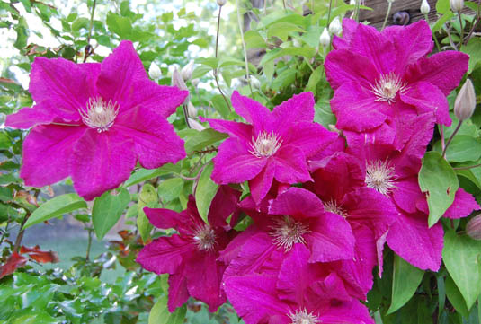 Clematis | Happy Simple Living blog