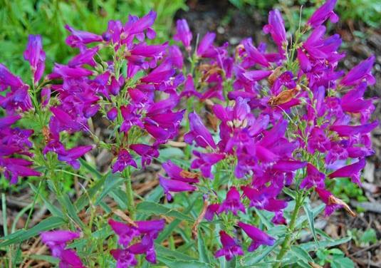 Perennials   Happy Simple Living blog