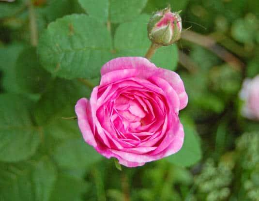 Rose   Happy Simple Living blog
