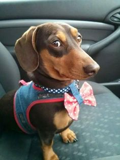 Dachshund | Happy Simple Living blog