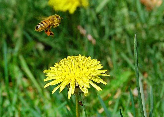 bumblebee and dandelion