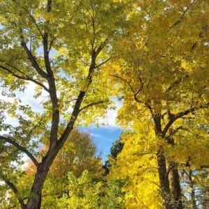 autumn leaves maple trees